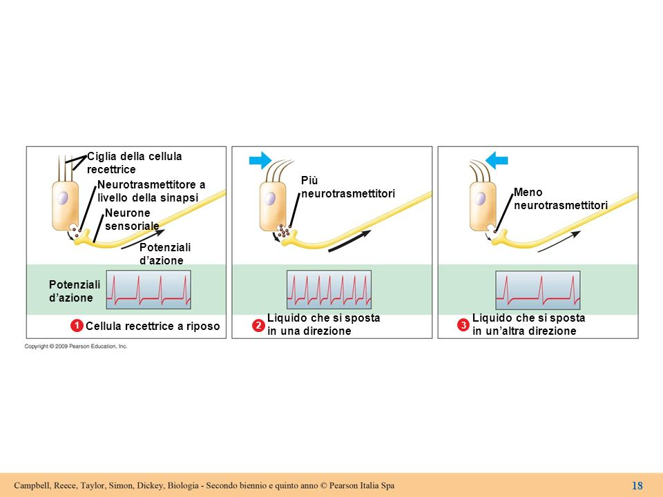 Ciglia della cellula recettrice Neurotrasmettitore a livello della sinapsi Neurone sensoriale Potenziali dazione Potenziali dazione Cellula recettrice