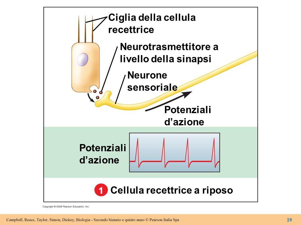 Potenziali dazione Potenziali dazione Ciglia della cellula recettrice Neurotrasmettitore a livello della sinapsi Neurone sensoriale Cellula recettrice