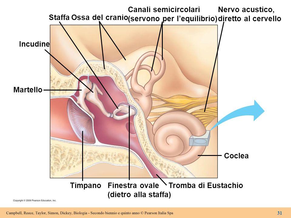 Martello Incudine Staffa Ossa del cranio Canali semicircolari (servono per lequilibrio) Nervo acustico, diretto al cervello Coclea Tromba di Eustachio