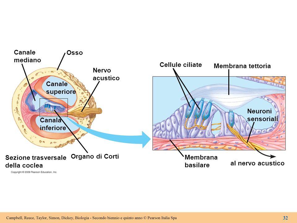 Canale mediano Osso Canale superiore Nervo acustico Canala inferiore Organo di Corti Sezione trasversale della coclea Cellule ciliate Membrana basilar