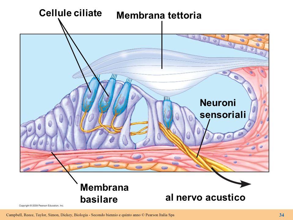 Cellule ciliate Membrana basilare Membrana tettoria Neuroni sensoriali al nervo acustico 34