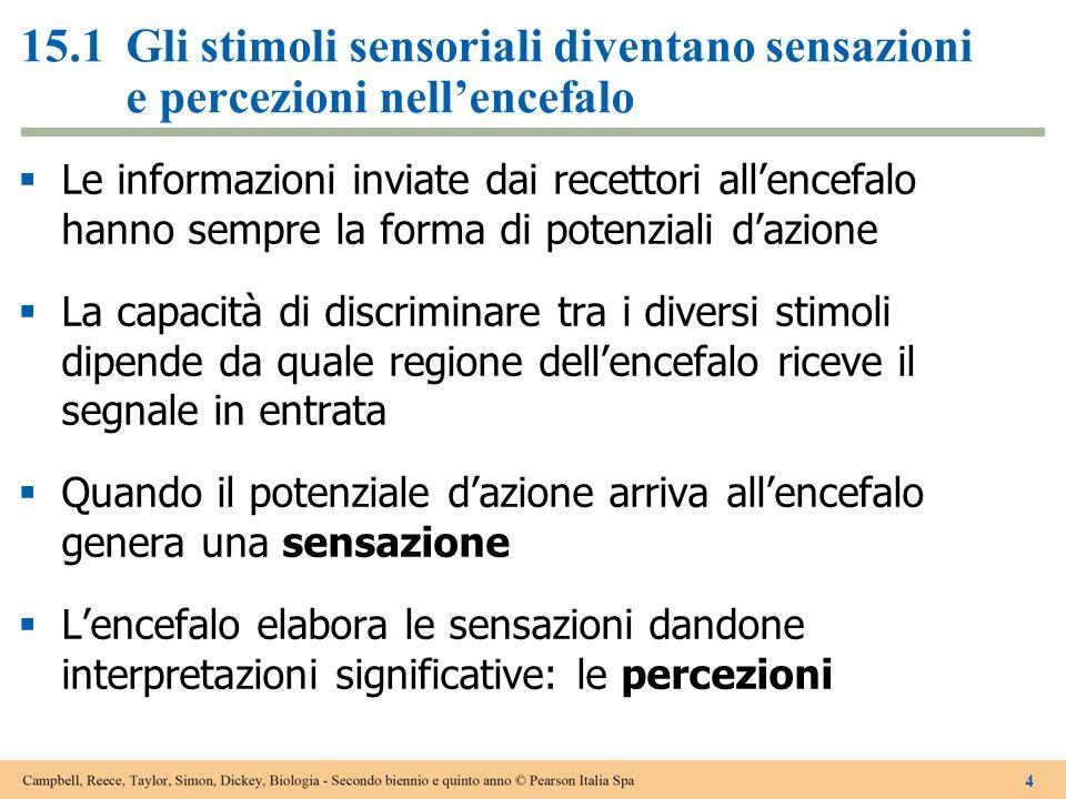 15.1Gli stimoli sensoriali diventano sensazioni e percezioni nellencefalo Le informazioni inviate dai recettori allencefalo hanno sempre la forma di p