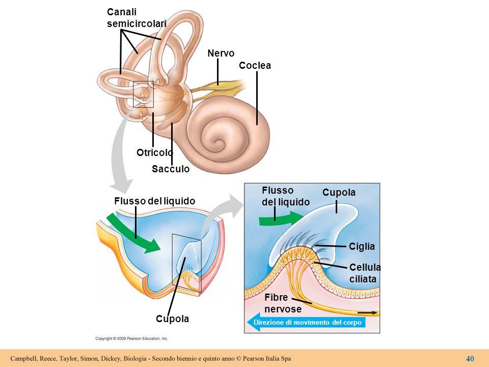 Canali semicircolari Nervo Coclea Otricolo Sacculo Flusso del liquido Flusso del liquido Cupola Ciglia Cellula ciliata Cupola Fibre nervose Direzione