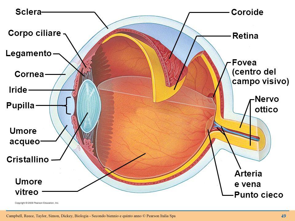 Sclera Corpo ciliare Legamento Cornea Iride Pupilla Umore acqueo Cristallino Umore vitreo Coroide Retina Fovea (centro del campo visivo) Nervo ottico