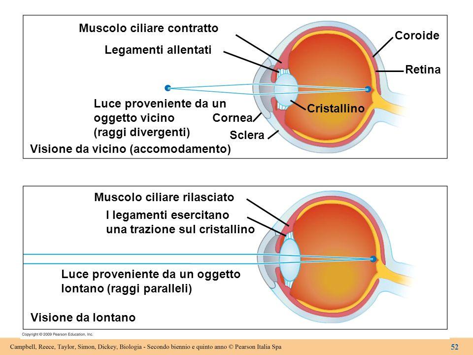 Muscolo ciliare contratto Legamenti allentati Luce proveniente da un oggetto vicino (raggi divergenti) Visione da vicino (accomodamento) Cornea Sclera