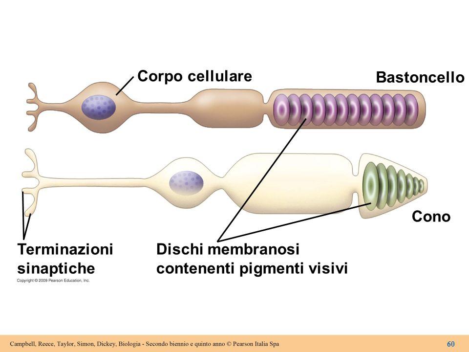 Corpo cellulare Bastoncello Terminazioni sinaptiche Cono Dischi membranosi contenenti pigmenti visivi 60