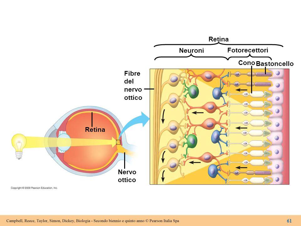 Retina Fibre del nervo ottico Neuroni Fotorecettori Cono Bastoncello Retina Nervo ottico 61