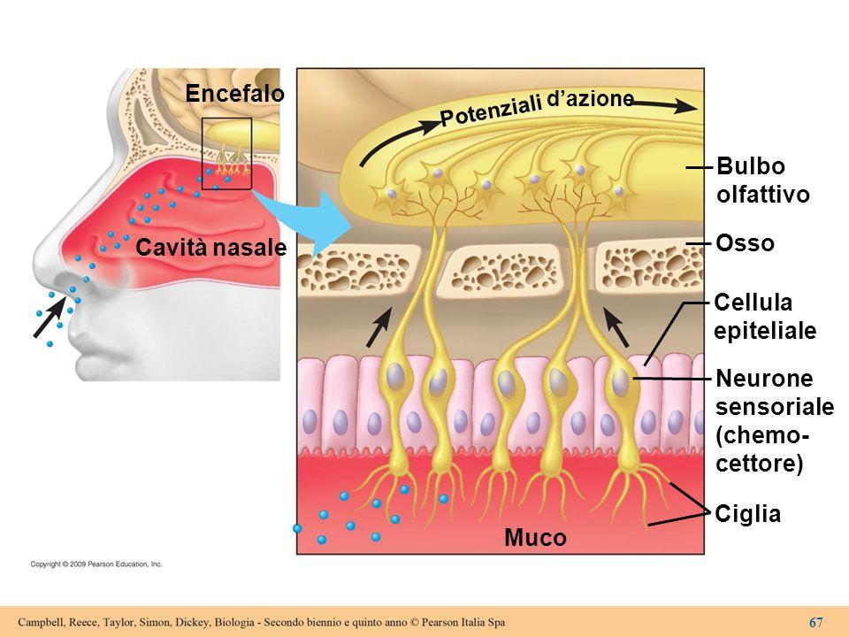 Encefalo Cavità nasale Bulbo olfattivo Osso Cellula epiteliale Neurone sensoriale (chemo- cettore) Ciglia Muco Potenziali dazione 67
