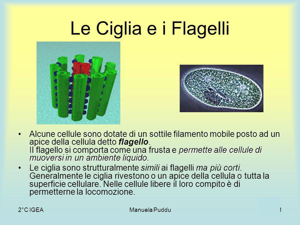 2°C IGEAManuela Puddu11 Le Ciglia e i Flagelli Alcune cellule sono dotate di un sottile filamento mobile posto ad un apice della cellula detto flagello.