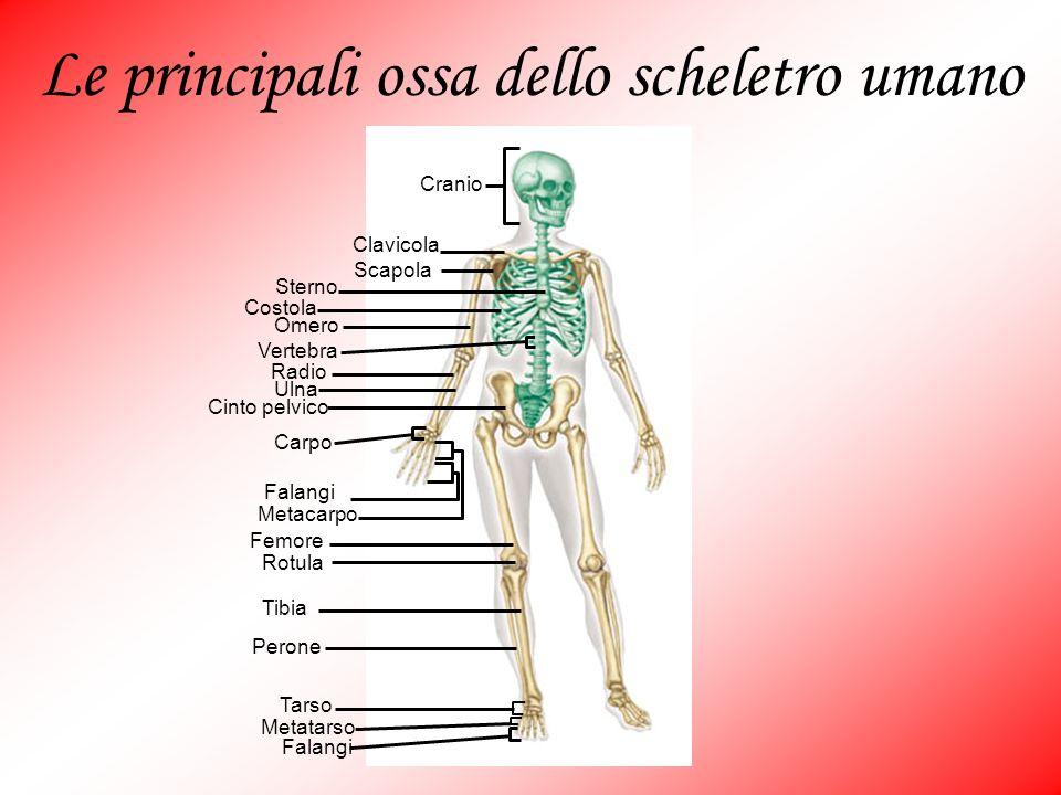 Cranio Clavicola Scapola Sterno Costola Omero Vertebra Radio Ulna Cinto pelvico Carpo Falangi Metacarpo Femore Rotula Tibia Perone Tarso Metatarso Fal