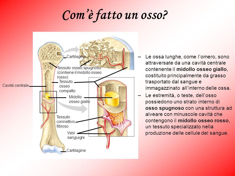 Cartilagine Vasi sanguigni Tessuto connettivo fibroso Midollo osseo giallo Cavità centrale Tessuto osseo compatto Tessuto osseo spugnoso (contiene il
