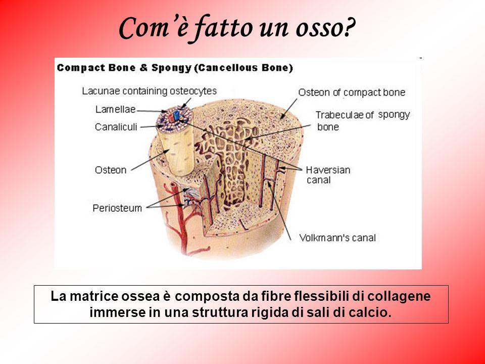 La matrice ossea è composta da fibre flessibili di collagene immerse in una struttura rigida di sali di calcio.