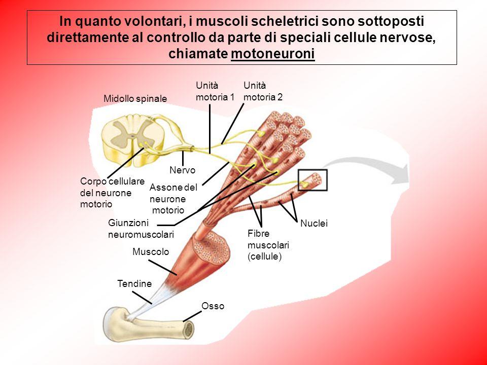 Osso Tendine Muscolo Giunzioni neuromuscolari Fibre muscolari (cellule) Nuclei Assone del neurone motorio Nervo Corpo cellulare del neurone motorio Mi
