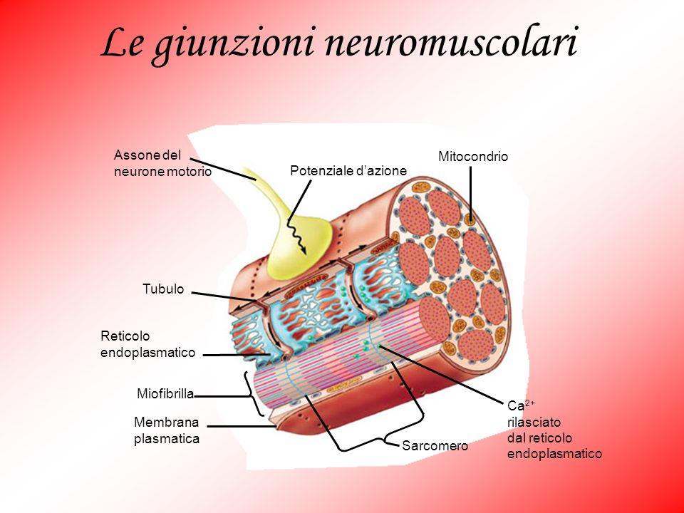 Ca 2+ rilasciato dal reticolo endoplasmatico Sarcomero Membrana plasmatica Miofibrilla Reticolo endoplasmatico Tubulo Assone del neurone motorio Poten