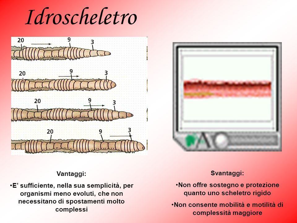 Idroscheletro Vantaggi: E sufficiente, nella sua semplicità, per organismi meno evoluti, che non necessitano di spostamenti molto complessi Svantaggi: