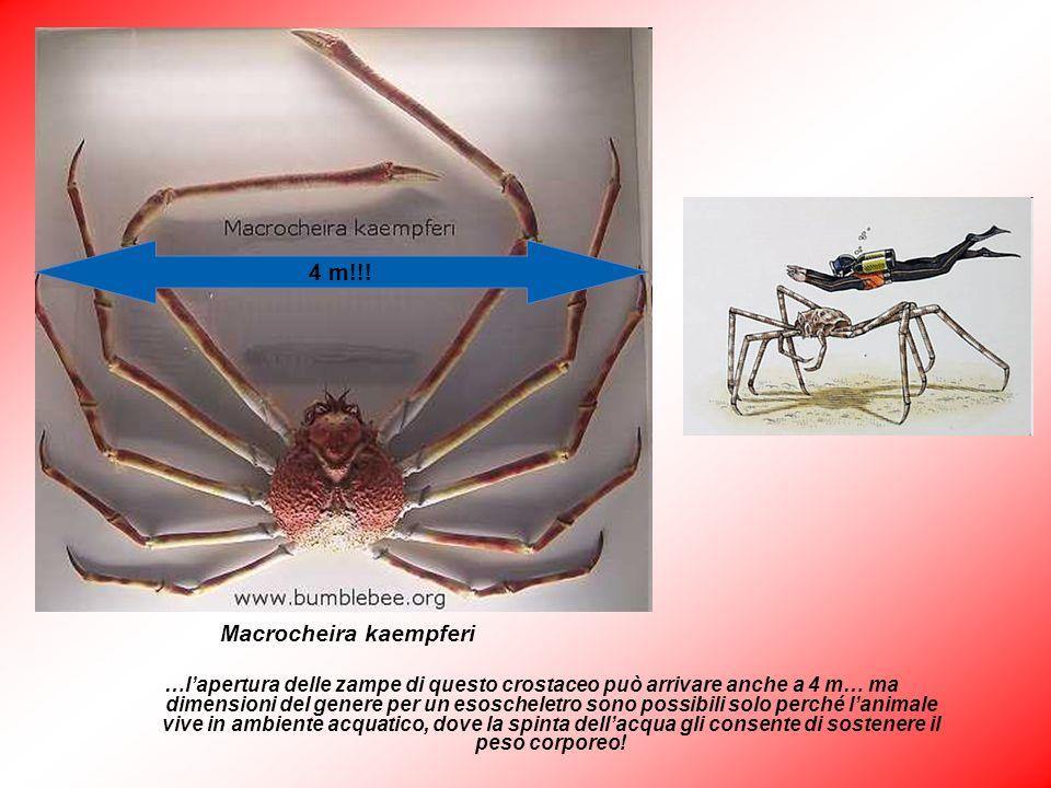 …lapertura delle zampe di questo crostaceo può arrivare anche a 4 m… ma dimensioni del genere per un esoscheletro sono possibili solo perché lanimale