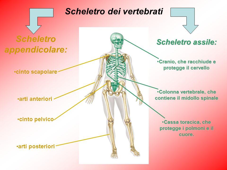 Scheletro assile: Cranio, che racchiude e protegge il cervelloCranio, che racchiude e protegge il cervello Colonna vertebrale, che contiene il midollo
