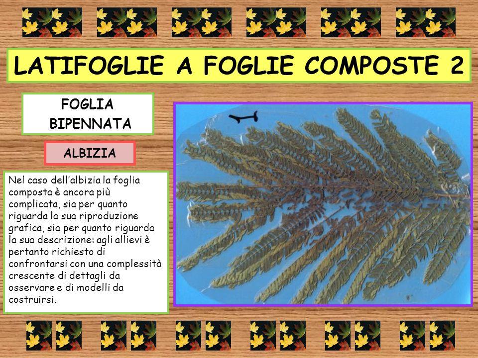 LATIFOGLIE A FOGLIE COMPOSTE 2 FOGLIA BIPENNATA ALBIZIA Nel caso dellalbizia la foglia composta è ancora più complicata, sia per quanto riguarda la su