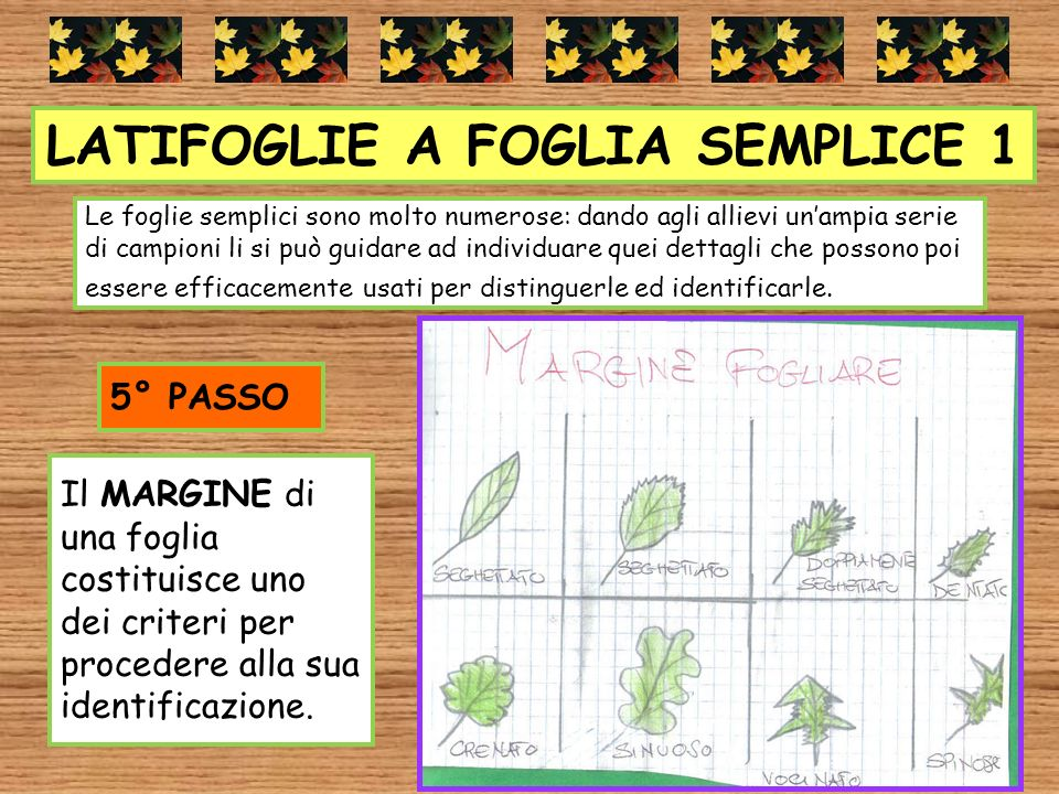 LATIFOGLIE A FOGLIA SEMPLICE 1 Il MARGINE di una foglia costituisce uno dei criteri per procedere alla sua identificazione. 5° PASSO Le foglie semplic