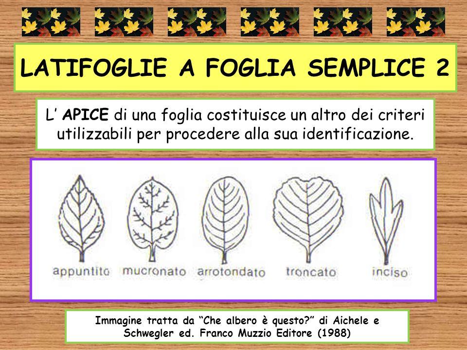 LATIFOGLIE A FOGLIA SEMPLICE 2 L APICE di una foglia costituisce un altro dei criteri utilizzabili per procedere alla sua identificazione. Immagine tr