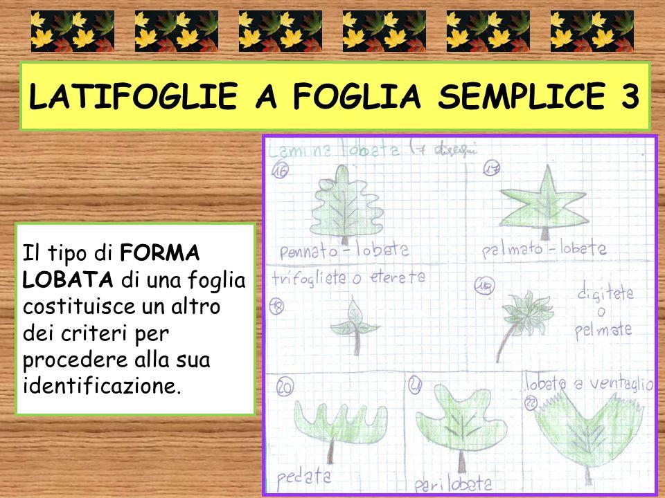 LATIFOGLIE A FOGLIA SEMPLICE 3 Il tipo di FORMA LOBATA di una foglia costituisce un altro dei criteri per procedere alla sua identificazione.