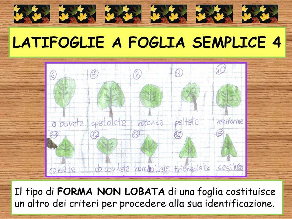 LATIFOGLIE A FOGLIA SEMPLICE 4 Il tipo di FORMA NON LOBATA di una foglia costituisce un altro dei criteri per procedere alla sua identificazione.