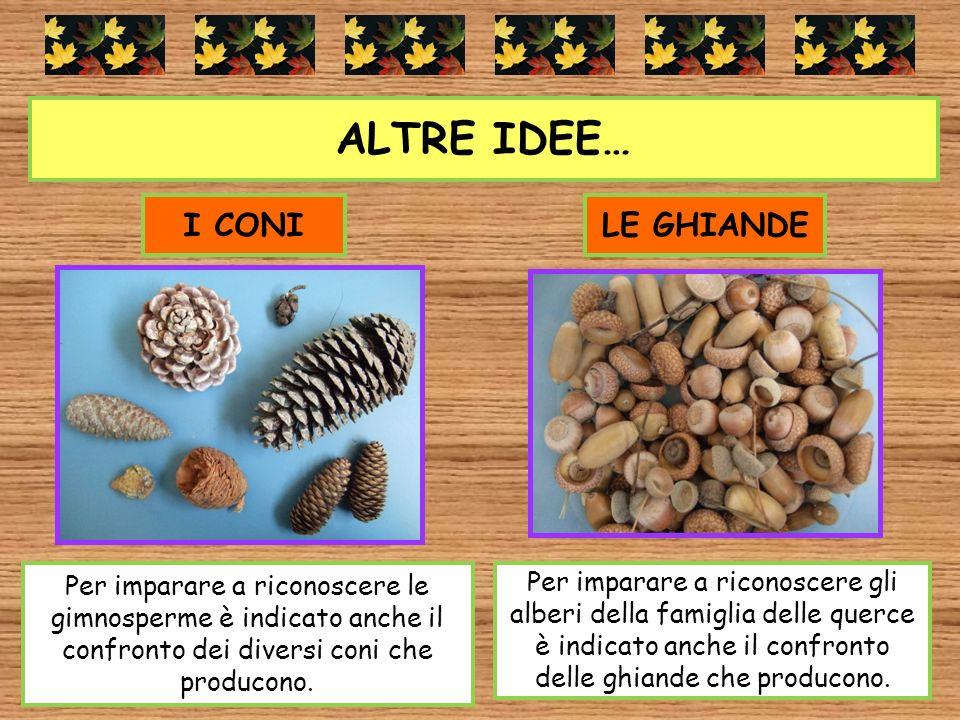 ALTRE IDEE… Per imparare a riconoscere le gimnosperme è indicato anche il confronto dei diversi coni che producono. I CONILE GHIANDE Per imparare a ri