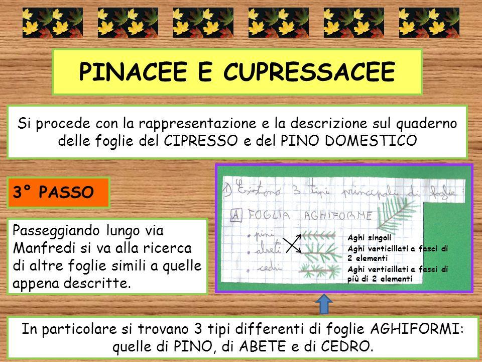 PINACEE E CUPRESSACEE Si procede con la rappresentazione e la descrizione sul quaderno delle foglie del CIPRESSO e del PINO DOMESTICO Passeggiando lun