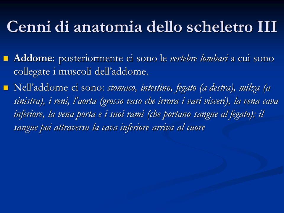 Cenni di anatomia dello scheletro III Addome: posteriormente ci sono le vertebre lombari a cui sono collegate i muscoli delladdome. Addome: posteriorm
