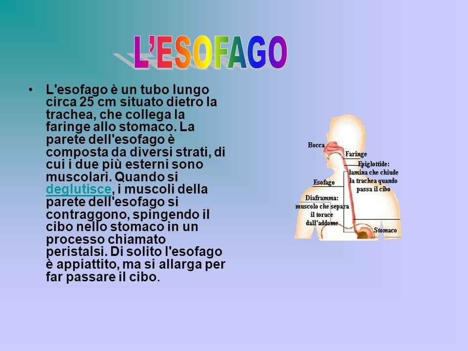 L'esofago è un tubo lungo circa 25 cm situato dietro la trachea, che collega la faringe allo stomaco. La parete dell'esofago è composta da diversi str