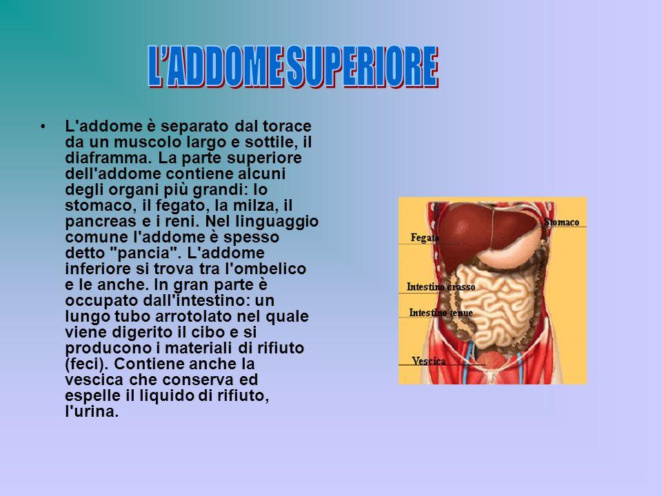 L'addome è separato dal torace da un muscolo largo e sottile, il diaframma. La parte superiore dell'addome contiene alcuni degli organi più grandi: lo
