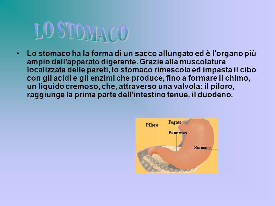 Lo stomaco ha la forma di un sacco allungato ed è l'organo più ampio dell'apparato digerente. Grazie alla muscolatura localizzata delle pareti, lo sto