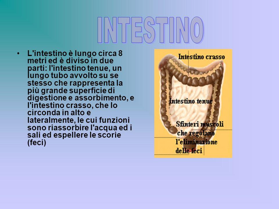 L'intestino è lungo circa 8 metri ed è diviso in due parti: l'intestino tenue, un lungo tubo avvolto su se stesso che rappresenta la più grande superf