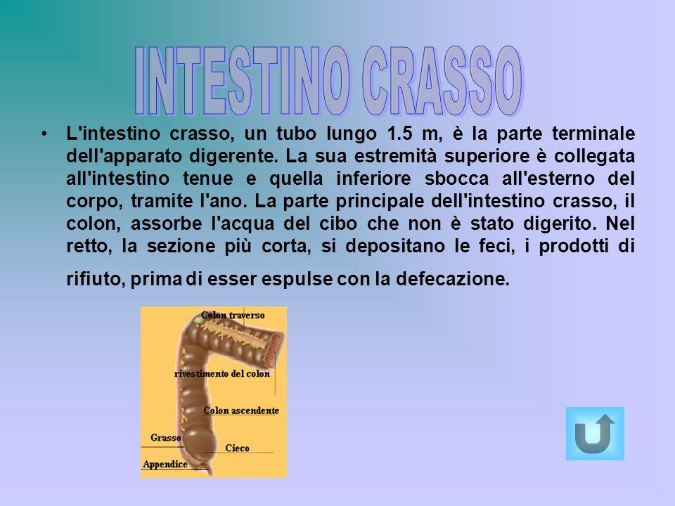L'intestino crasso, un tubo lungo 1.5 m, è la parte terminale dell'apparato digerente. La sua estremità superiore è collegata all'intestino tenue e qu