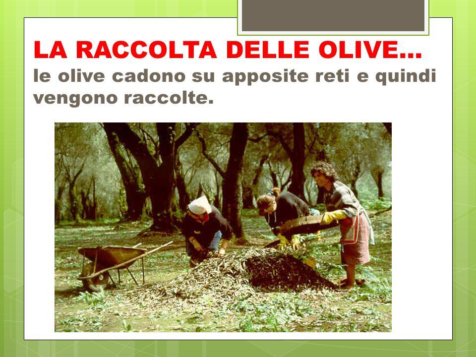 LA RACCOLTA DELLE OLIVE… le olive cadono su apposite reti e quindi vengono raccolte.