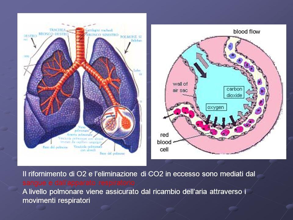 Il rifornimento di O2 e leliminazione di CO2 in eccesso sono mediati dal sangue e dallapparato respiratorio A livello polmonare viene assicurato dal r