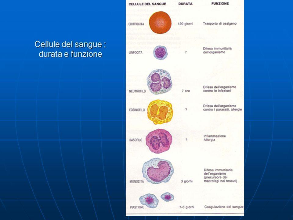 Cellule del sangue : durata e funzione