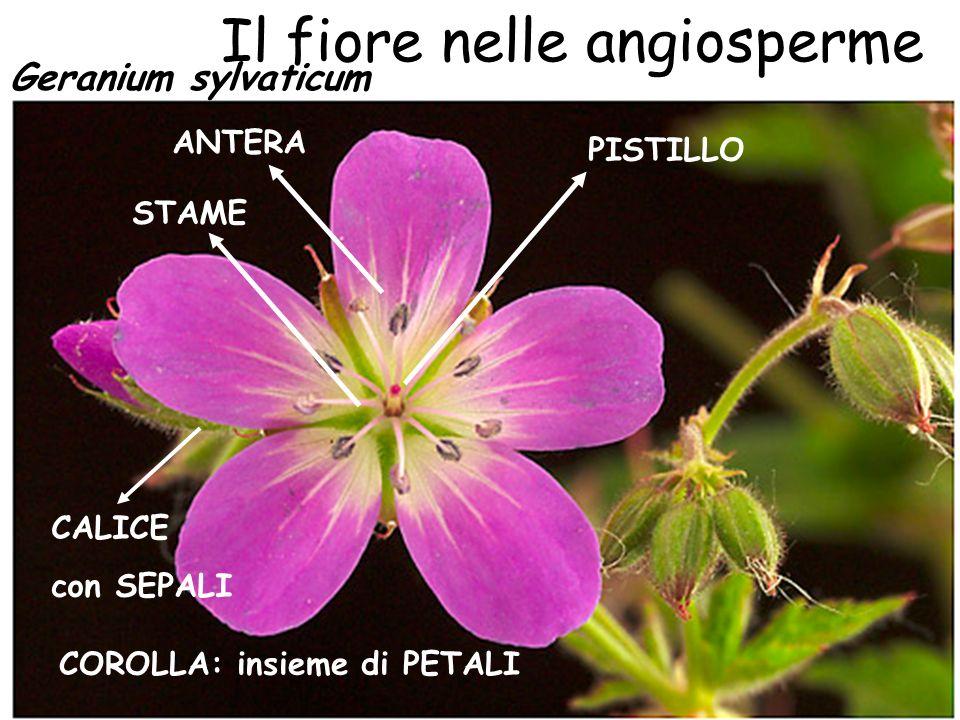 In natura esistono fiori a 8 petali… …e a 13 petali