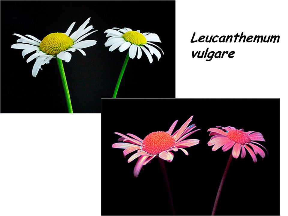 Numeri di Fibonacci e fillotassi La fillotassi è l ordinamento delle foglie su un gambo o su di un ramo, o lordinamento dei semi o degli stami di alcuni fiori.