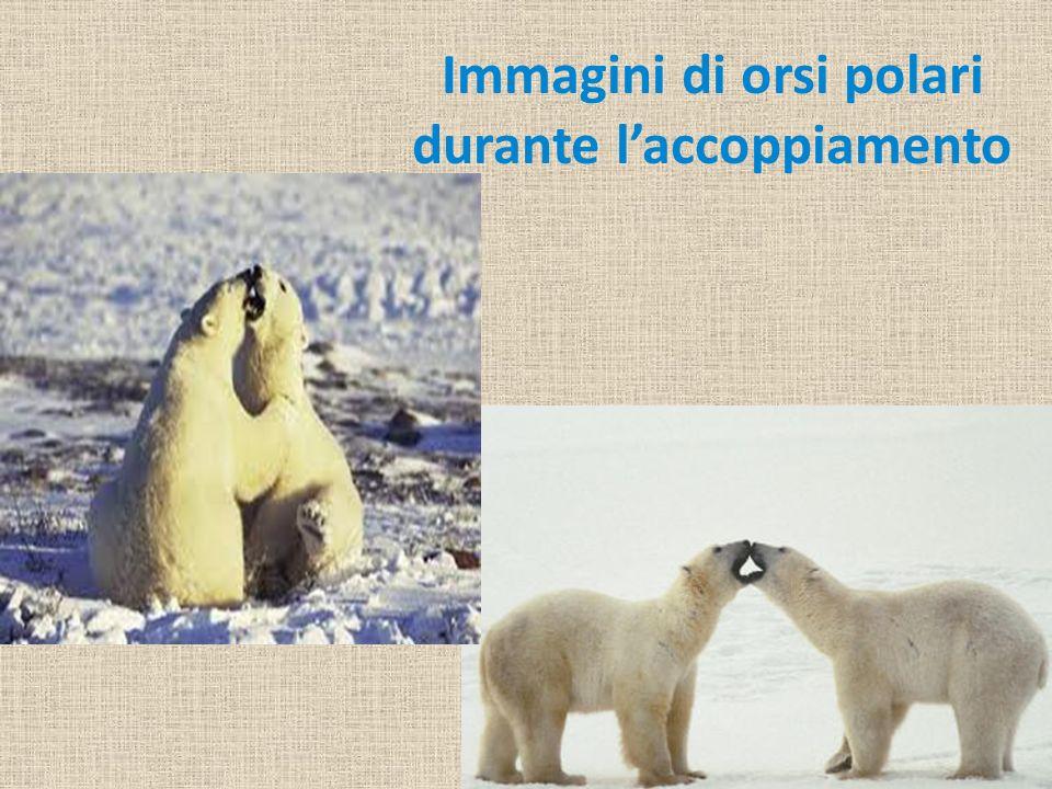 Immagini di orsi polari durante laccoppiamento