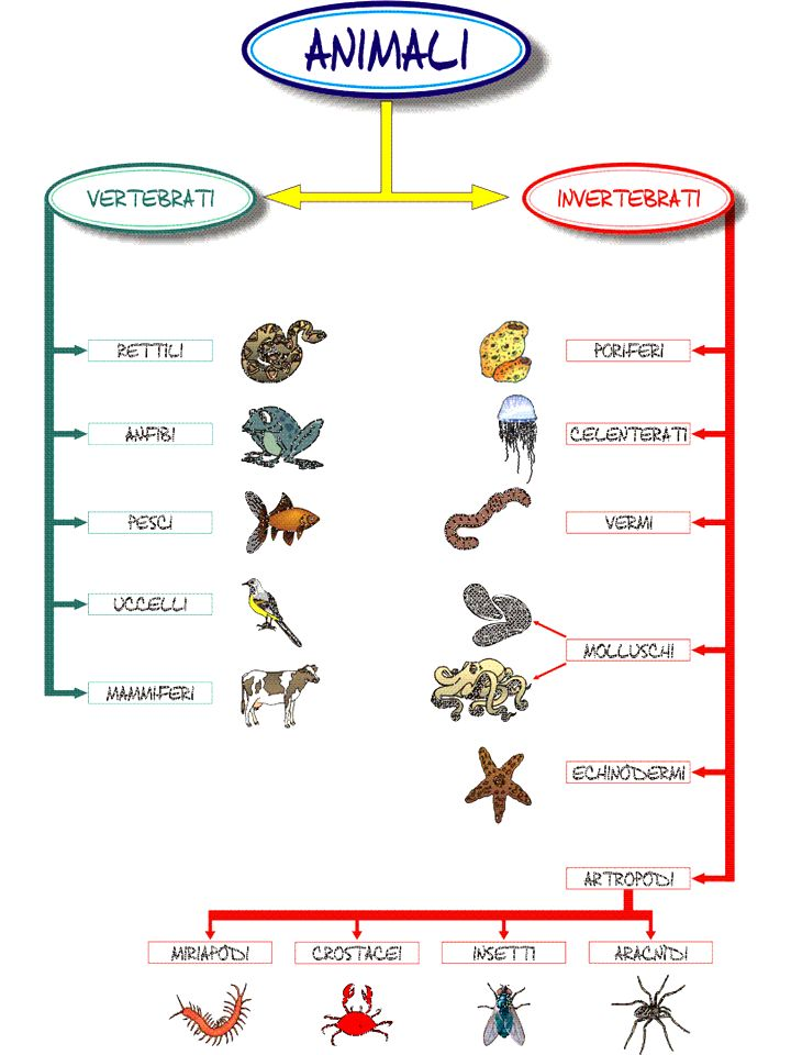 PROTOZOI (PROTISTI) Sono unicellulari (unica cellula) Sono eterotrofi Sono microscopici Vivono in acqua Si muovono grazie a ciglia o protuberanze della cellula stessa Invertebrati Non presentano uno scheletro interno osseo PORIFERI O SPUGNE Non hanno simmetria Diverse forme Corpo con diverse aperture (PORI), la più grande OSCULO, nella quale lacqua porta gli alimenti Struttura di calcare che li sorregge Attaccati al fondo No veri apparati Riproduzione sia sessuata (gameti), sia asessuata (gemmule) amebaparamecio