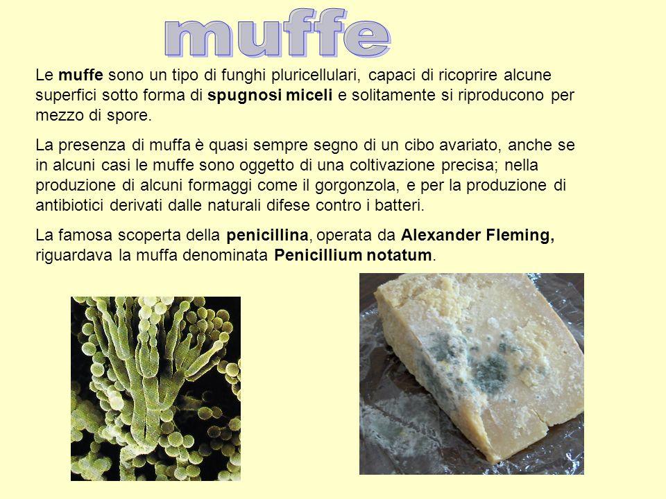 Le muffe sono un tipo di funghi pluricellulari, capaci di ricoprire alcune superfici sotto forma di spugnosi miceli e solitamente si riproducono per m