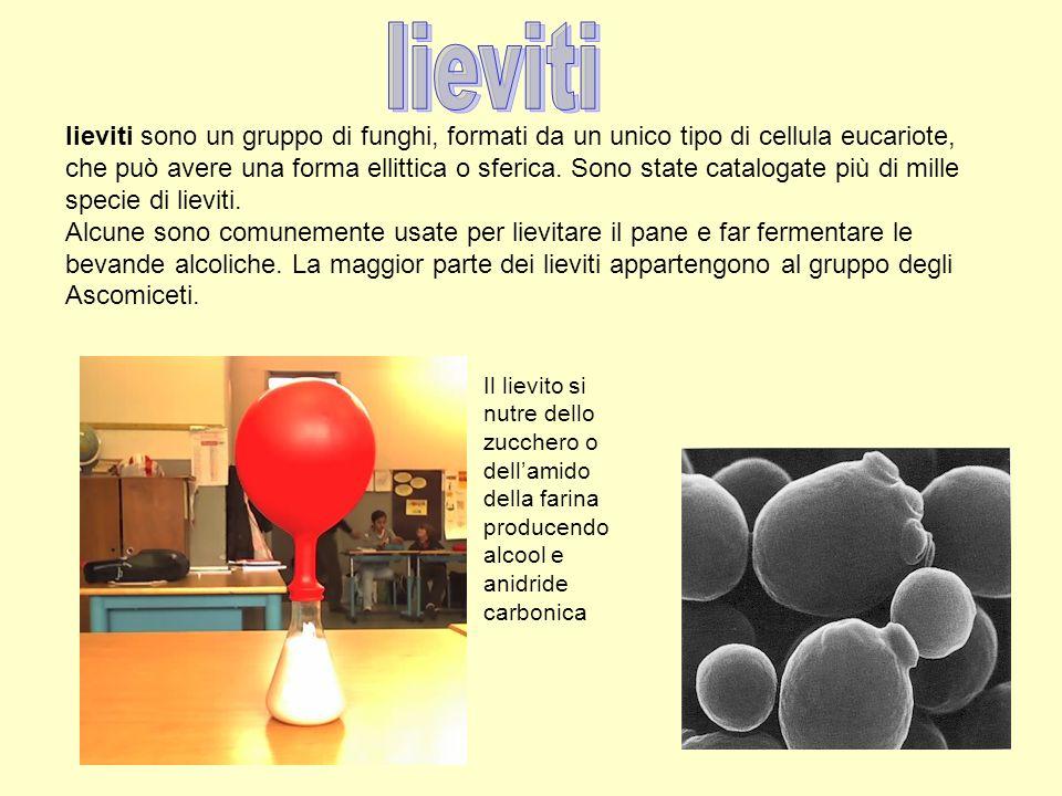 lieviti sono un gruppo di funghi, formati da un unico tipo di cellula eucariote, che può avere una forma ellittica o sferica. Sono state catalogate pi
