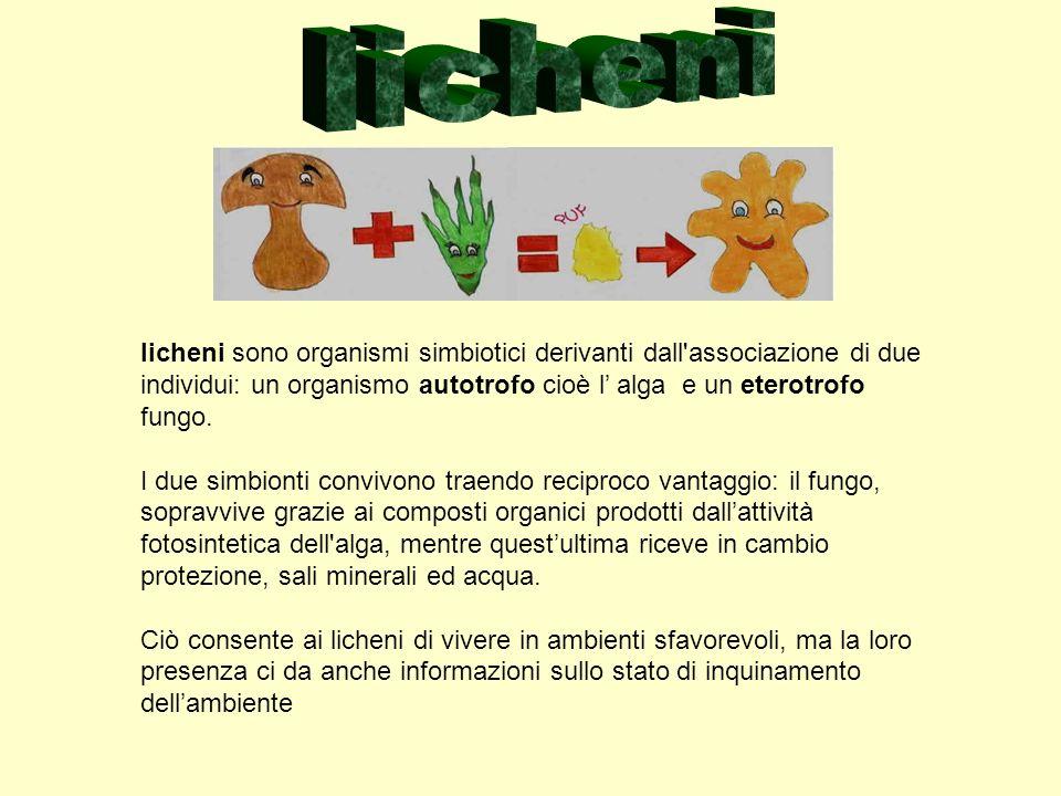 licheni sono organismi simbiotici derivanti dall'associazione di due individui: un organismo autotrofo cioè l alga e un eterotrofo fungo. I due simbio