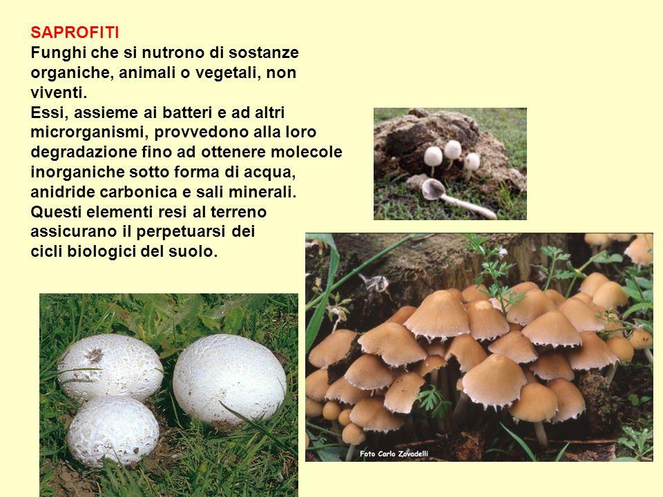SAPROFITI Funghi che si nutrono di sostanze organiche, animali o vegetali, non viventi. Essi, assieme ai batteri e ad altri microrganismi, provvedono