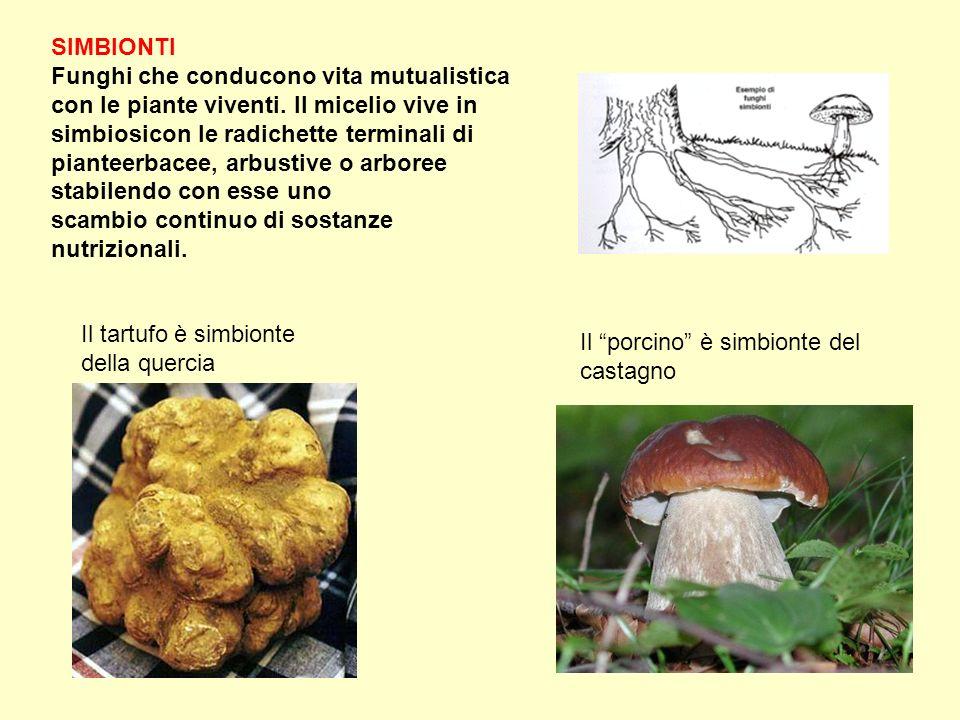SIMBIONTI Funghi che conducono vita mutualistica con le piante viventi. Il micelio vive in simbiosicon le radichette terminali di pianteerbacee, arbus