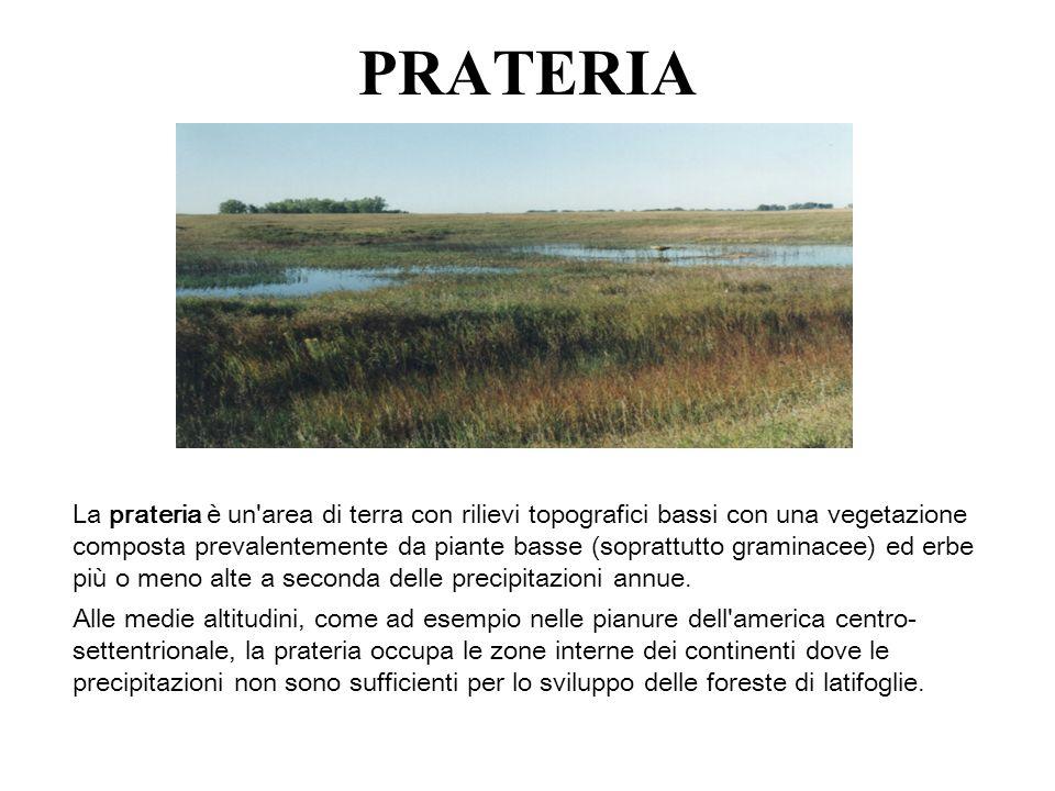 PRATERIA La prateria è un'area di terra con rilievi topografici bassi con una vegetazione composta prevalentemente da piante basse (soprattutto gramin
