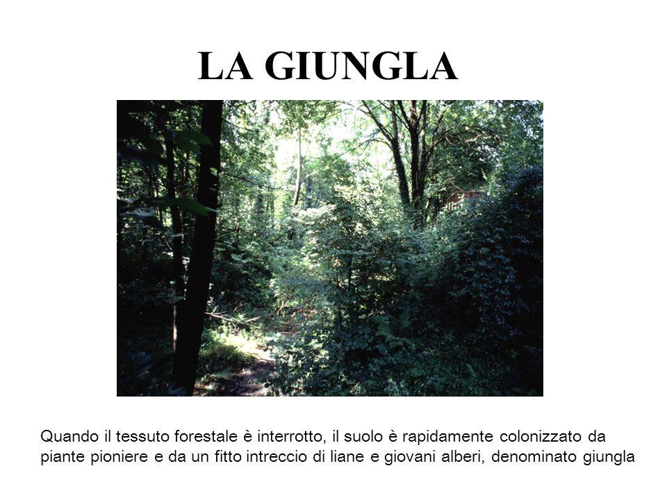 LA GIUNGLA Quando il tessuto forestale è interrotto, il suolo è rapidamente colonizzato da piante pioniere e da un fitto intreccio di liane e giovani