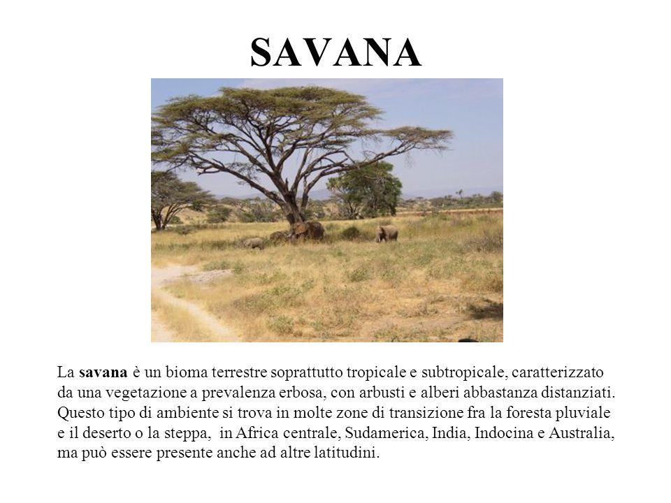 SAVANA La savana è un bioma terrestre soprattutto tropicale e subtropicale, caratterizzato da una vegetazione a prevalenza erbosa, con arbusti e alber