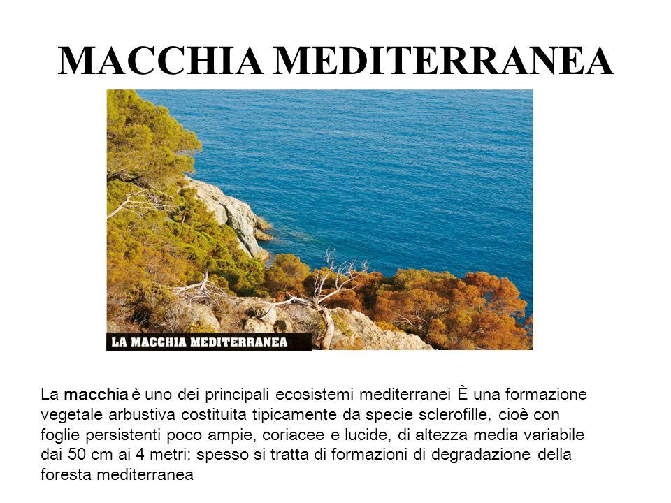 MACCHIA MEDITERRANEA La macchia è uno dei principali ecosistemi mediterranei È una formazione vegetale arbustiva costituita tipicamente da specie scle